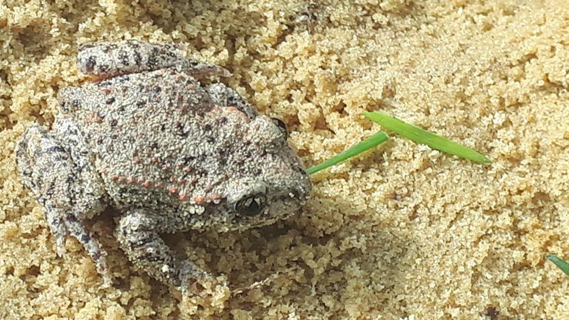 De vroedmeesterpad, een bedreigde diersoort, werd uitgezet in groeve Blaivie in Overijse
