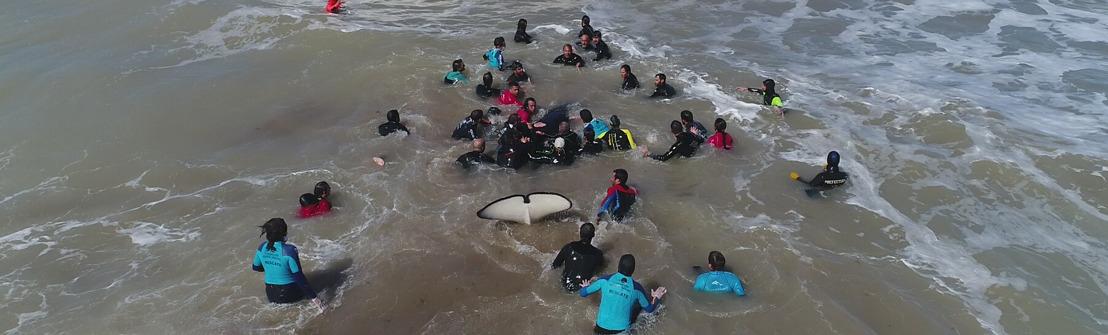Video: así rescataron a la última de las 7 orcas varadas en Mar Chiquita