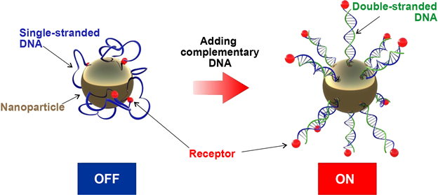 Figure 1. Adding a complementary DNA strand activates the receptors on the nanoparticle surface. Credit: Vladimir Cherkasov et al.
