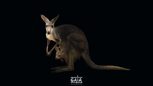 COMMUNIQUÉ DE PRESSE // GAIA veut supprimer la viande de kangourou des rayons des supermarchés