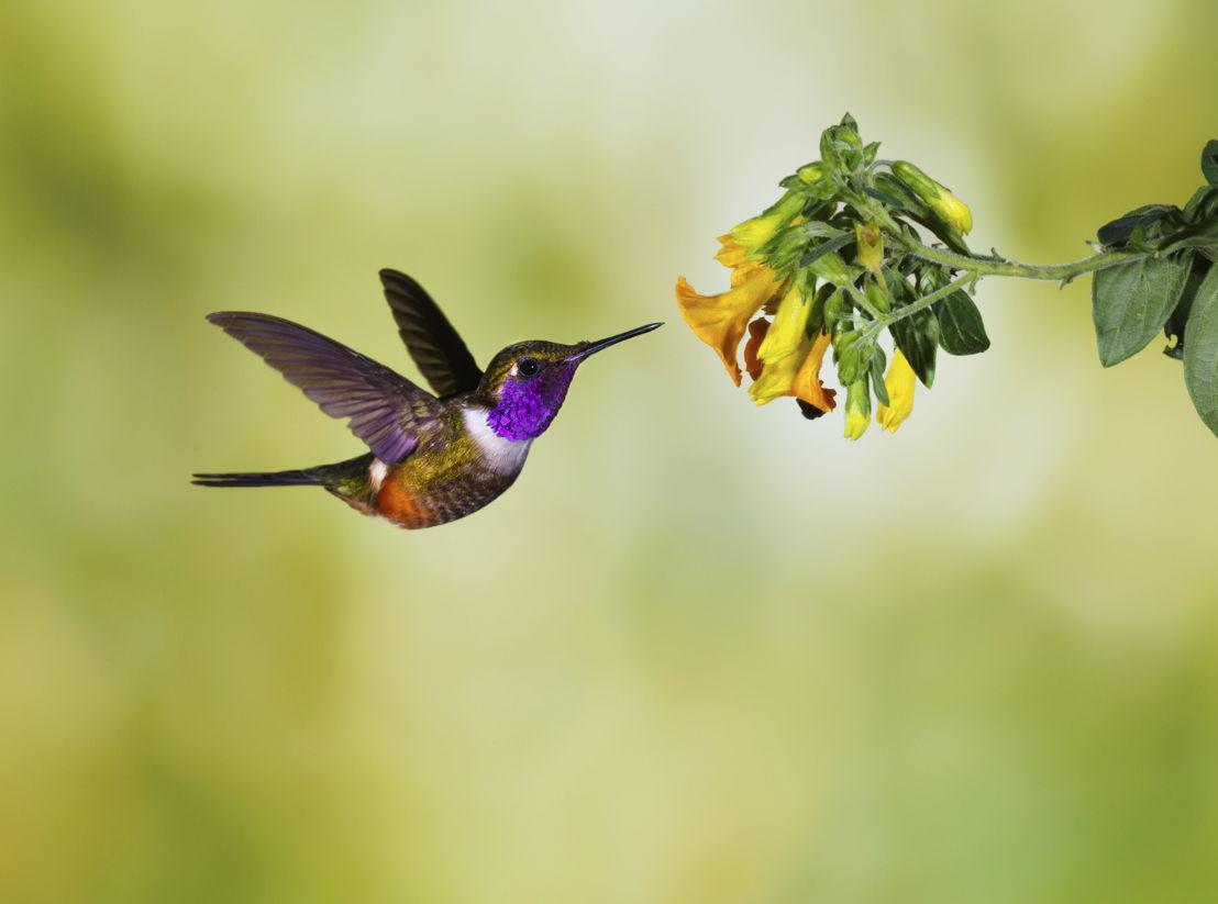 Hummingbird 1 (photo credit to Pike Nurseries)
