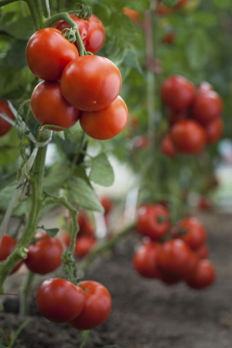 Tomatoes (photo credit Pike Nurseries)