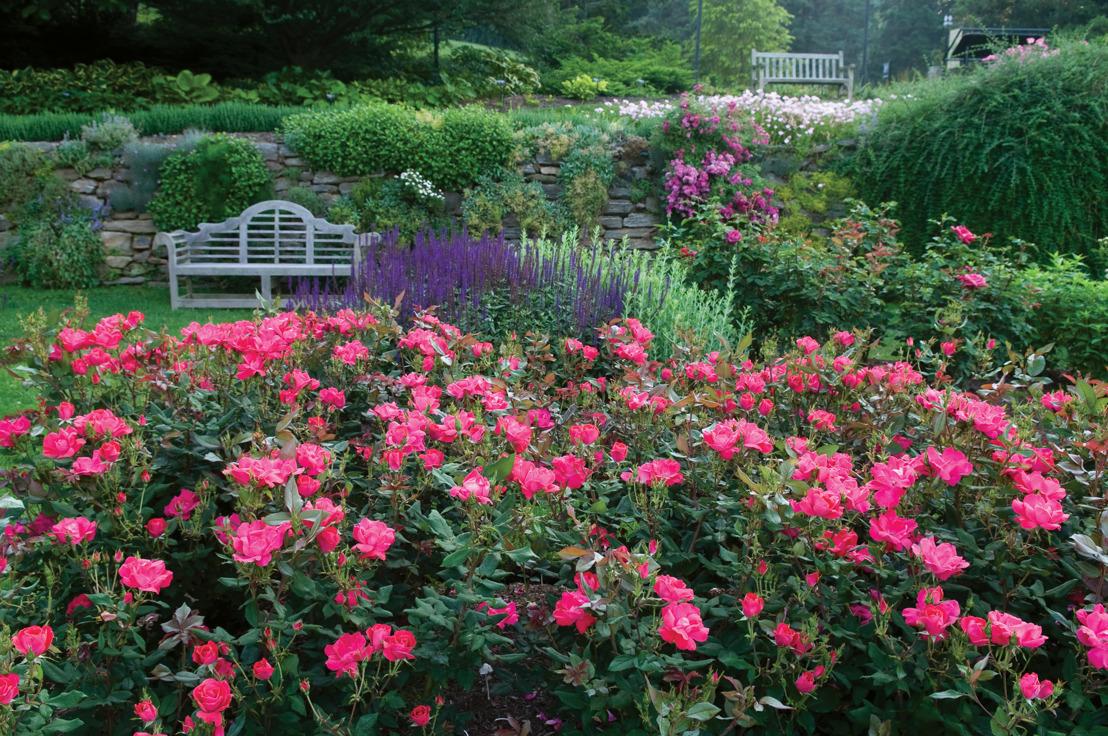 Pike Nurseries abloom with long-lasting rose plant varieties