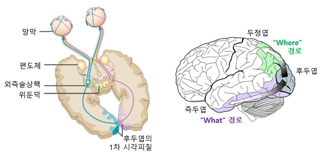 뇌의 시각 처리와 딥 러닝
