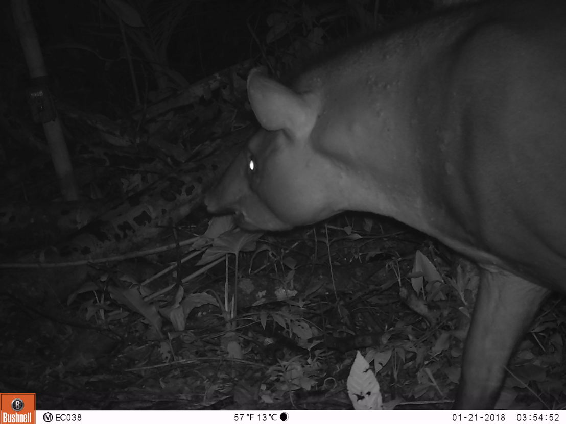 Tapirus terrestris -®WWF-Ecuador
