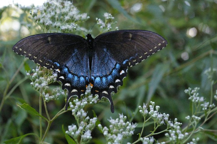 Brownwood butterfly (photo credit to Pike Nurseries)