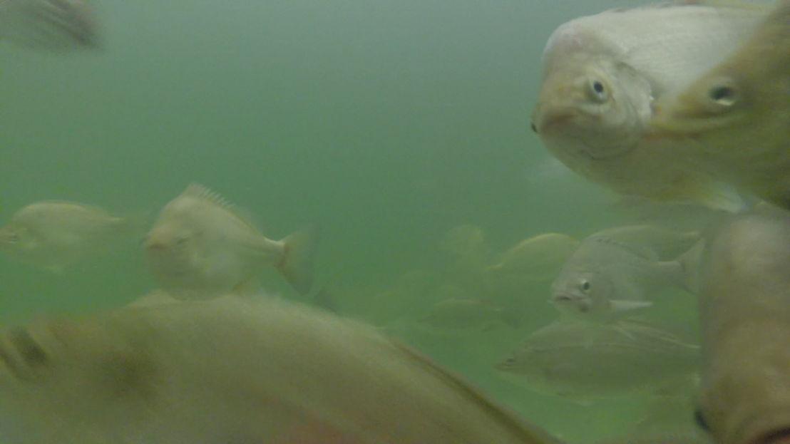 Koppen: Groene vis (c) VRT