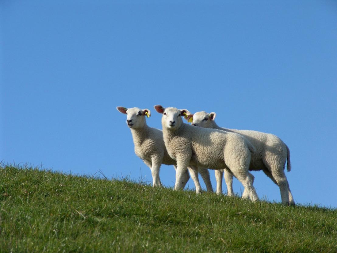 GAIA soutient la Région flamande dans une démarche juridique contre l'abattage sans étourdissement