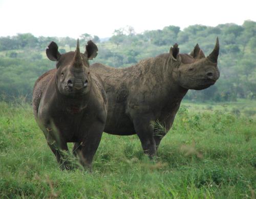 Zuid-Afrika: het aantal gestroopte neushoorns neemt af maar blijft zorgwekkend
