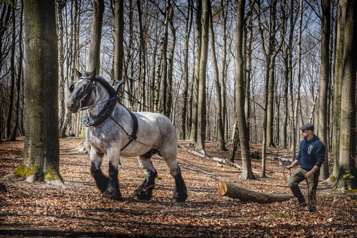 Brabants trekpaard actief in de bosbouw (copyright: Lander Loeckx)
