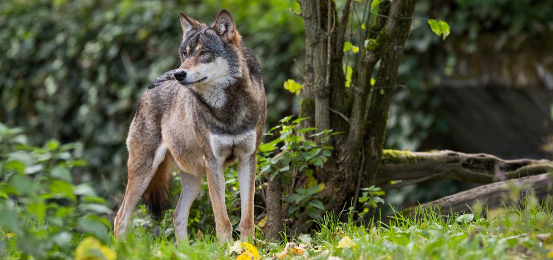 Wolvenaanval Oudsbergen: weide had geen wolfwerende omheining, wolvenplatform komt op korte termijn samen