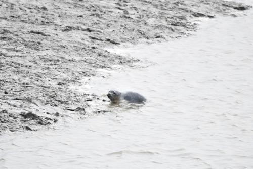 VUB-onderzoek toont aan dat zeehondenpups communiceren zoals mensen
