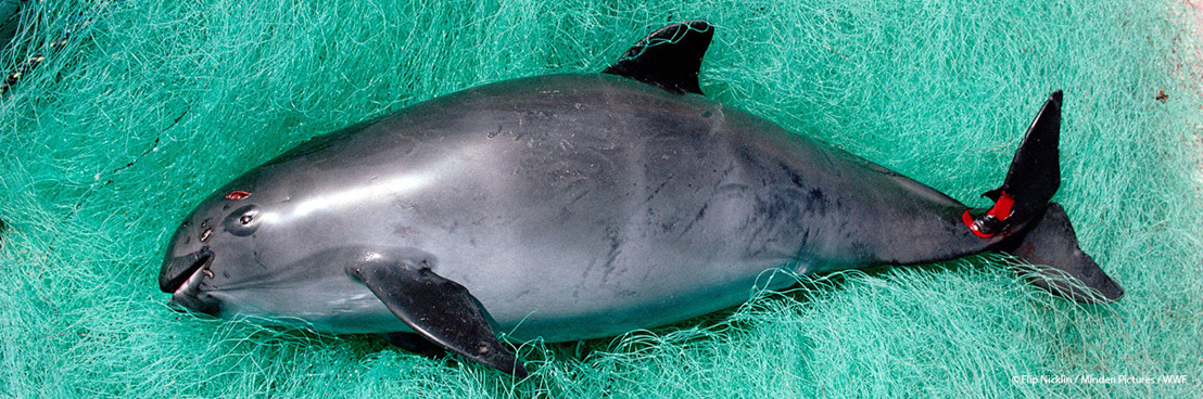 L'interdiction temporaire des filets maillants ne sauvera pas le vaquita