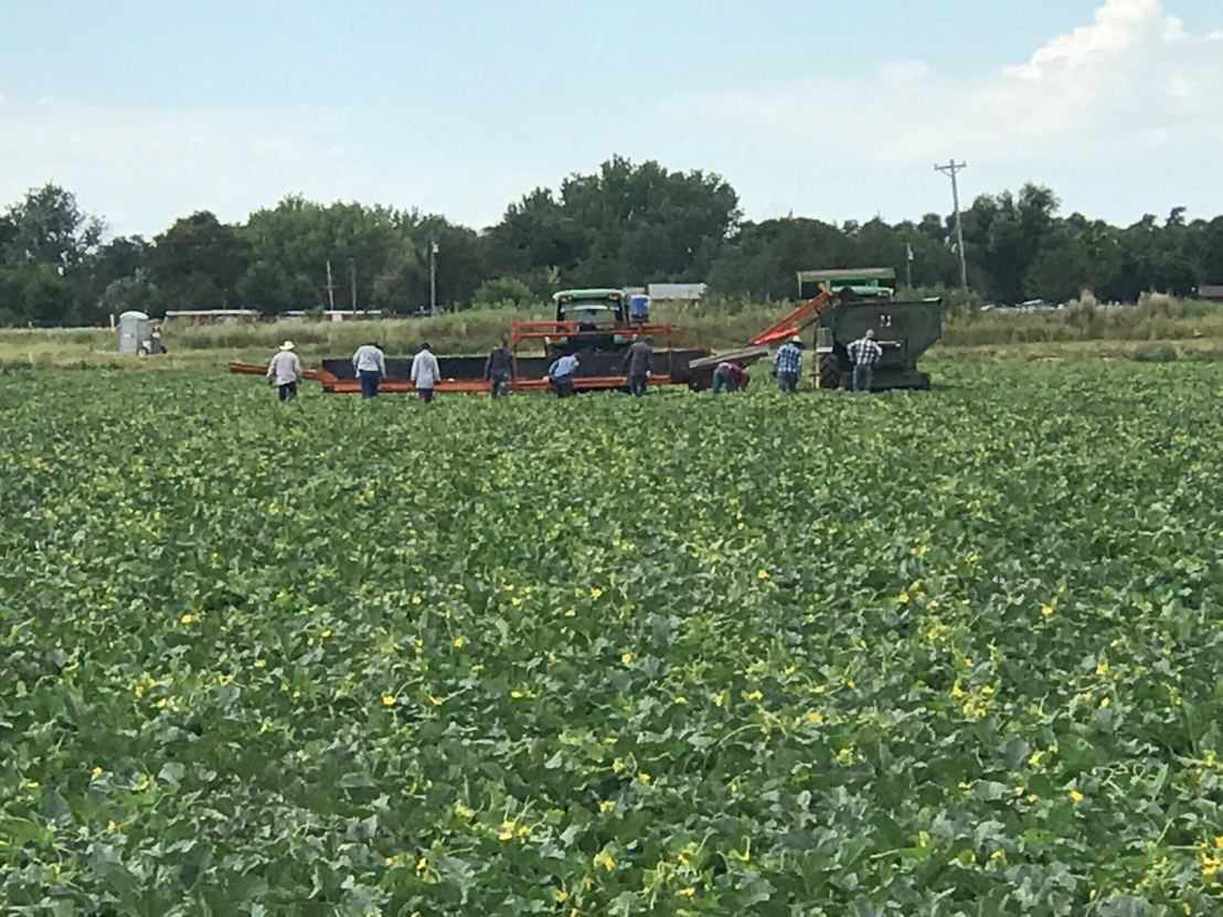 Harvesting crews in the fields for the start of the 2017 Rocky Ford Cantaloupe season