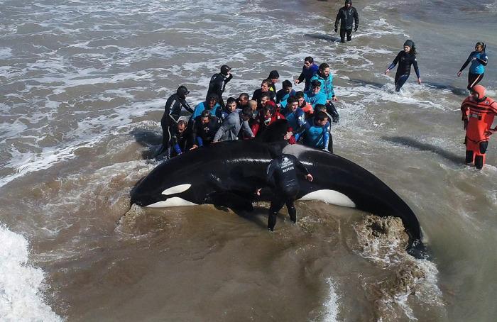 Una orca varada pudo regresar al mar gracias al esfuerzo de toda una comunidad
