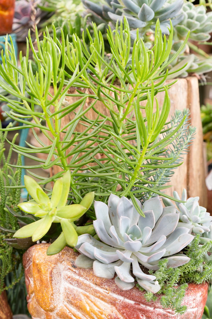 Succulents (photo credit Pike Nurseries)