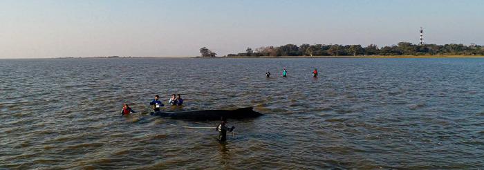 Alerta por el aumento de varamientos de ballenas jorobadas en la región