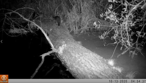 Opnieuw otter waargenomen in het Oost-Vlaamse Berlare