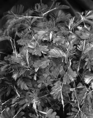Nick Geboers, Sun/Moon Studies #1 (Mimosa Pudica), 2009