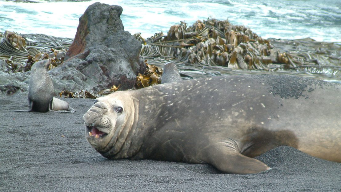 New study reveals how foreign kelp surfed to Antarctica
