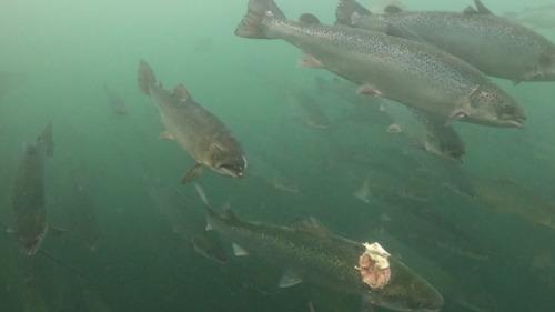 NOUVELLE CAMPAGNE // Malformations, parasites et taux de mortalité élevés : les profondeurs obscures de l'industrie écossaise du saumon révélées par une nouvelle enquête