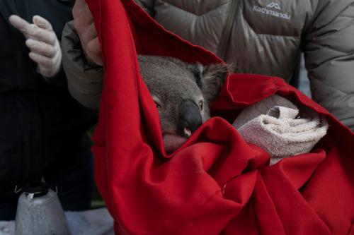 Koala survival post-bushfires given major boost