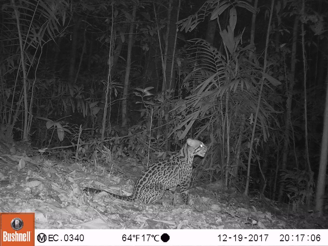 Leopardus pardalis -®WWF-Ecuador