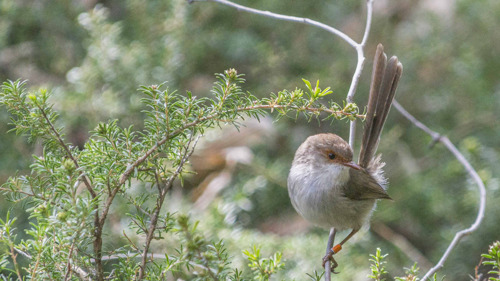 Fairy-wrens change breeding habits to cope with climate change