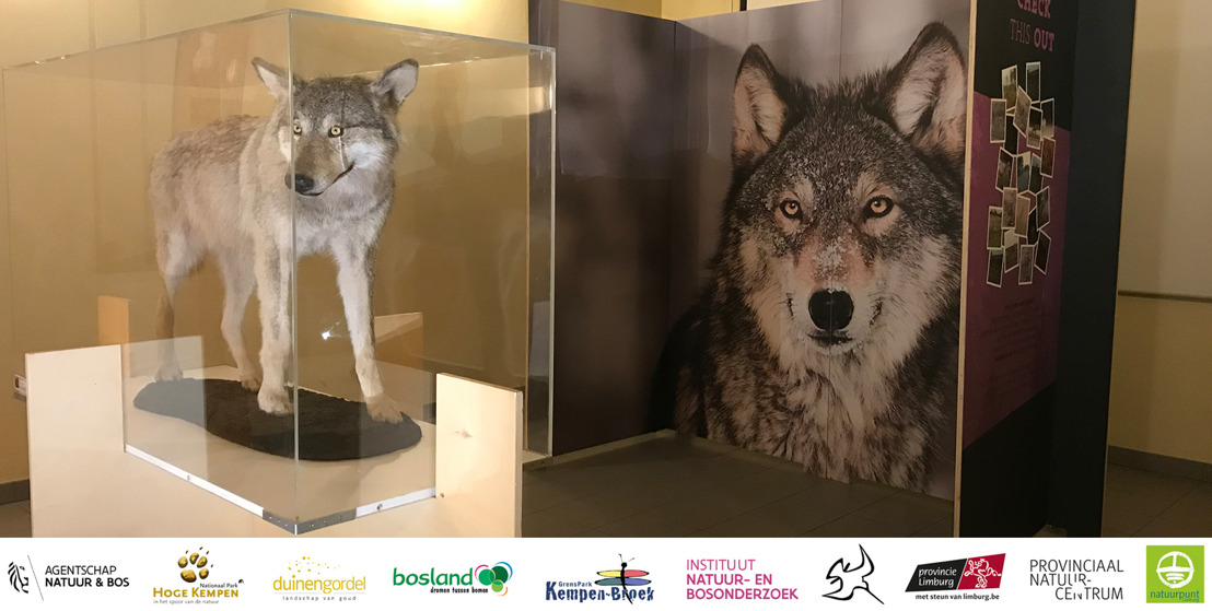 "Vernieuwde ""Pop-Up Expo Wolven in Limburg"" start in Koersel"