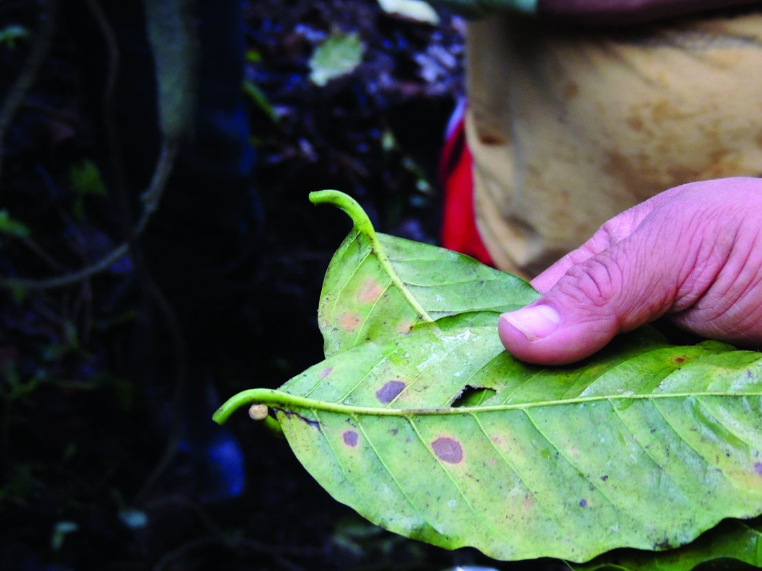 Leaf rust caused by a fungus attacks mature, highly productive coffee trees.