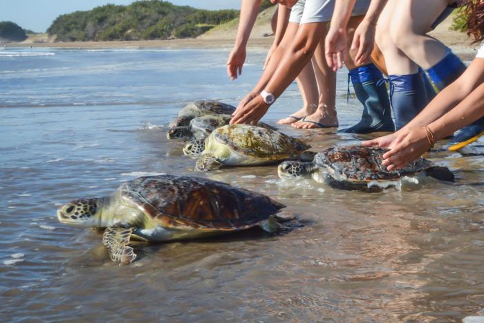 Preview: En lo que va del año el 60% de las tortugas marinas rescatadas tenían plástico en sus intestinos