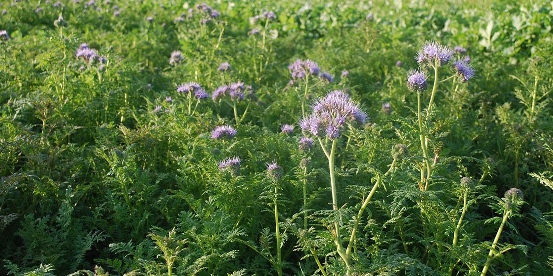 82% van de landbouwers zaait voldoende vanggewassen in