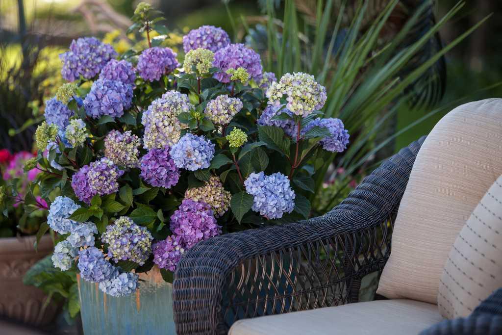 Hydrangeas in Garden (Photo credit to Pike Nurseries)