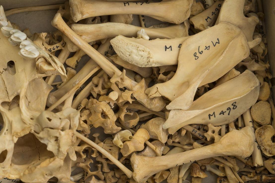 Tasmanian Devil bones. Image credit: Stuart Hay, ANU