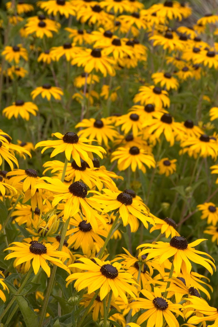 Rudbeckia 'goldstrum monrovia' (photo credit Pike Nurseries)