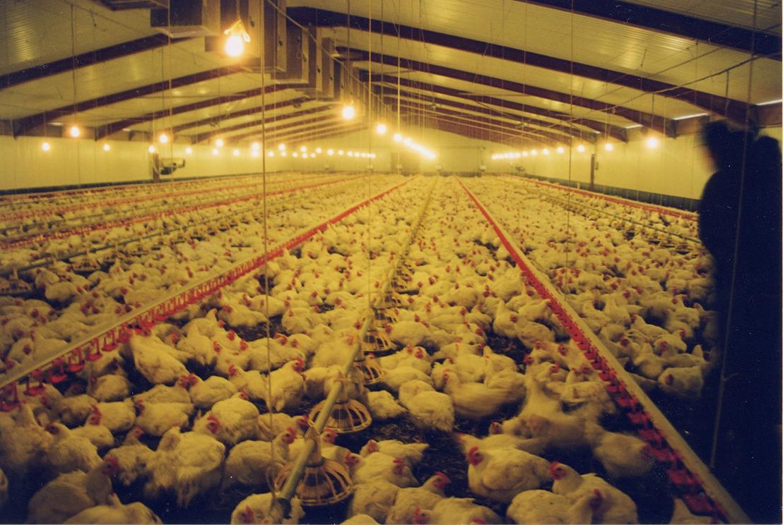 """""""Dit is een doorbraak"""": GAIA roept de andere grootwarenhuizen in België op om zich zoals Colruyt/OKay te engageren pro vleeskippenwelzijn en het 'European Better Chicken Commitment' te onderschrijven"""