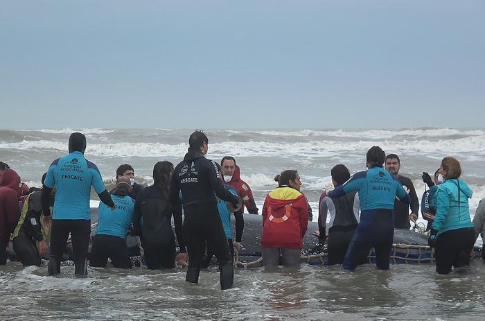 Parte sobre la ballena varada: siguen los intentos por reinsertarla