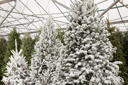 Pike Nurseries shares tips and tidings for keeping Christmas trees fresh all season long