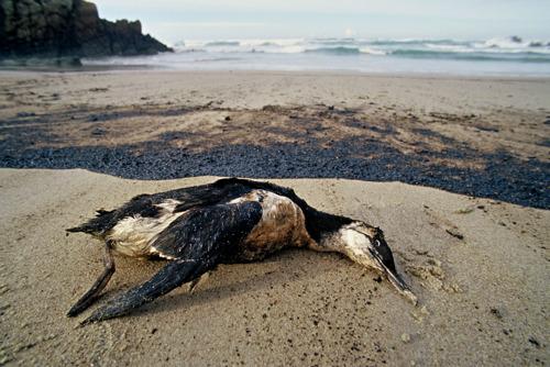 Grote olievlek gesignaleerd in Brazilië : een tragedie voor het mariene ecosysteem, zegt WWF