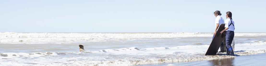 Mirá la reinserción al mar del joven león marino hallado en Puerto Madero