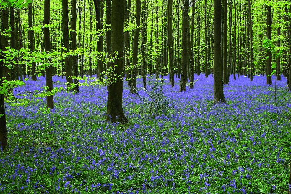 De wilde hyacint is opnieuw de topact voor de tweede editie van het hyacintenfestival