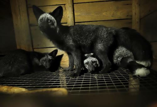Ook Waalse en Brusselse ministers voor Dierenwelzijn verzetten zich tegen Europees referentiecentrum voor welzijn pelsdieren