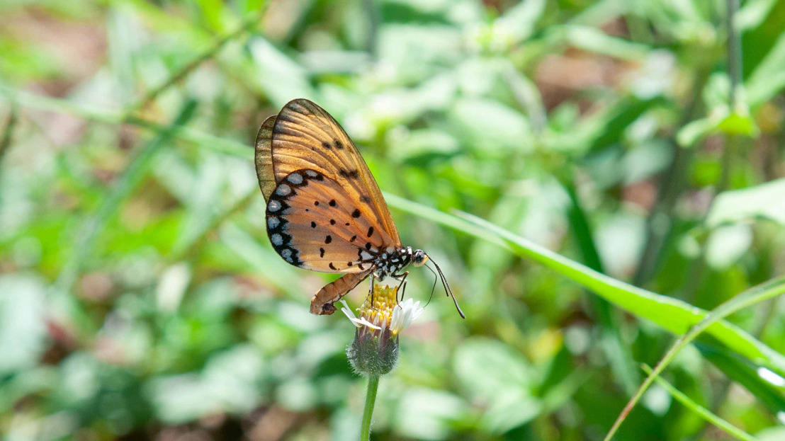 New project to track Australia's butterflies takes flight