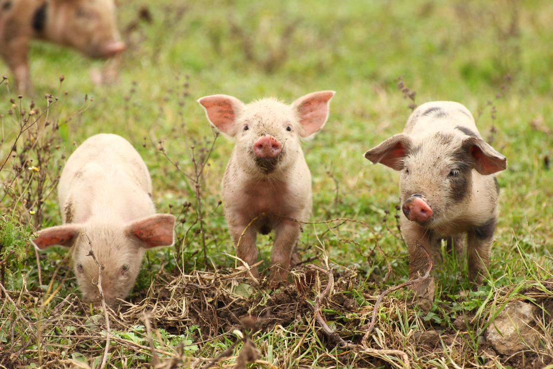 Sondage IPSOS : 88% des Wallons veulent faire interdire la castration chirurgicale des porcelets