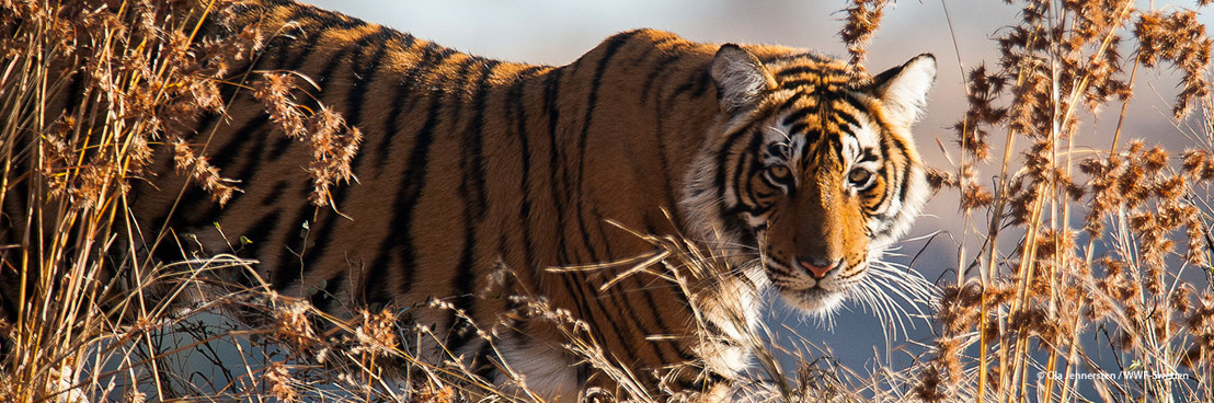 Le tigre bientôt de retour au Kazakhstan après de longues années d'absence