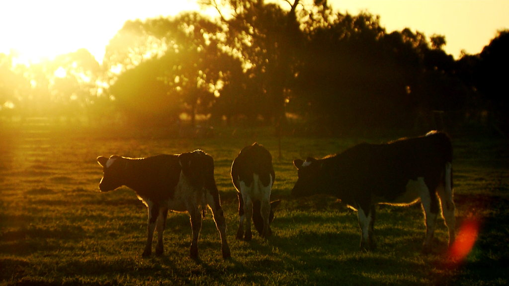 Milked Dry: The awful price being paid by Australian dairy farmers for the milk we drink.