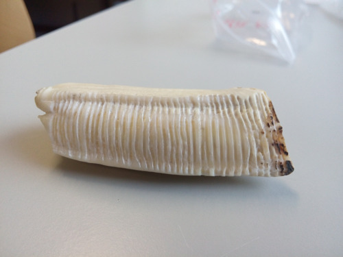 VUB geologist uses horse teeth to measure climate changes
