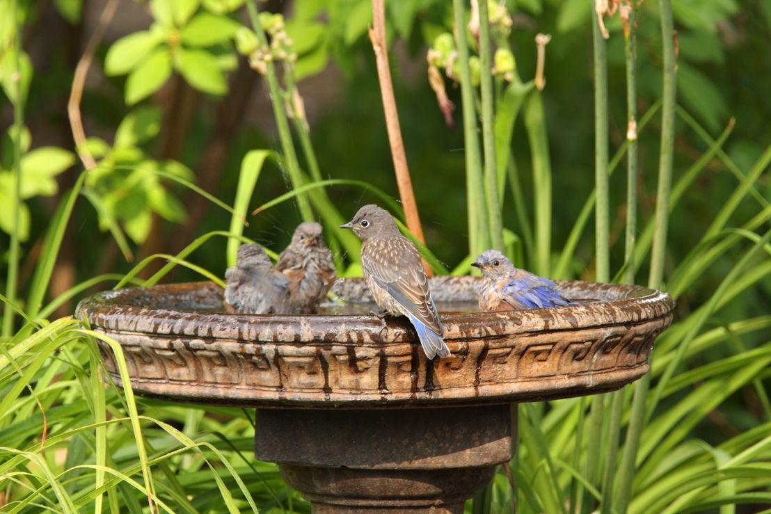 Birds in birdbath (Photo credit to Pike Nurseries)