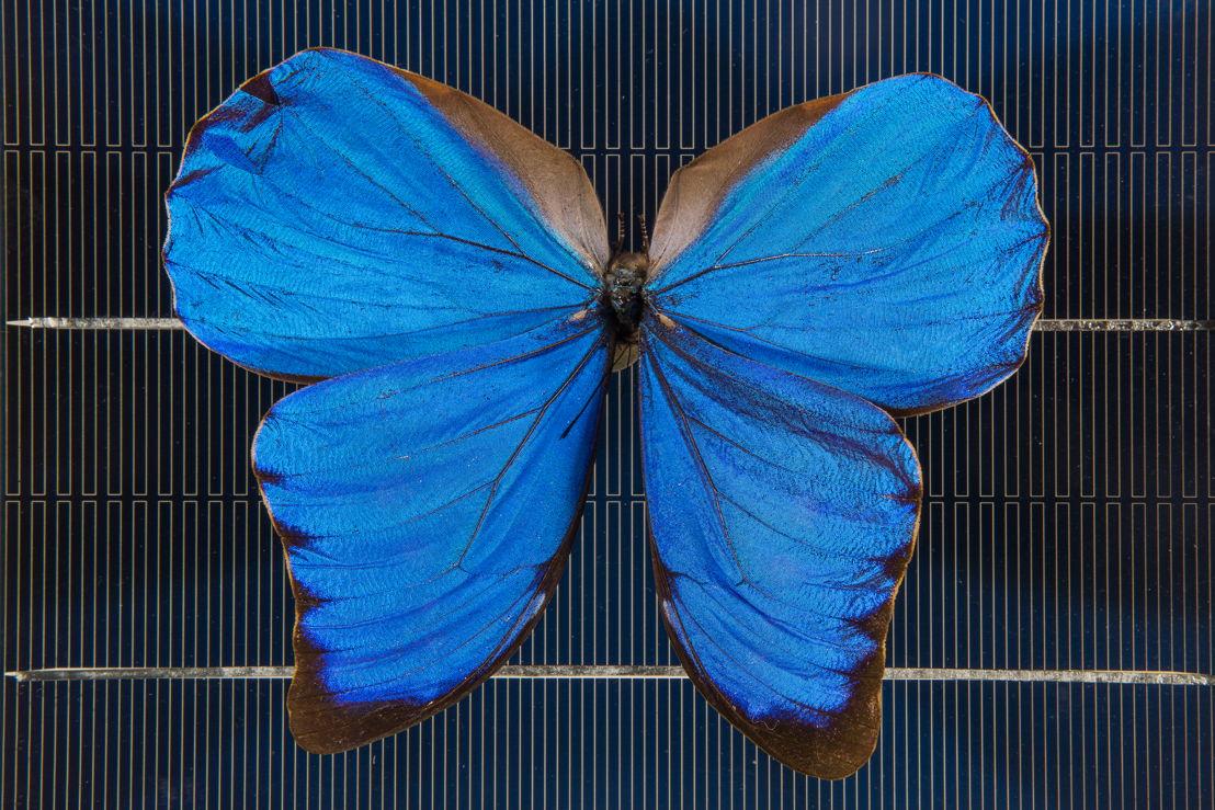 A blue Morpho butterfly on a solar cell. Image: Stuart Hay, ANU.