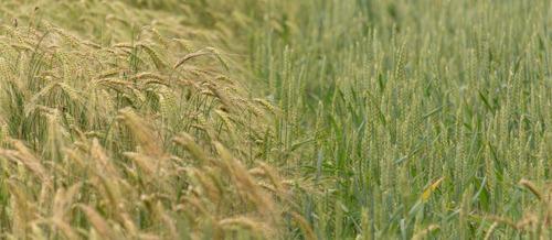 Extra tijd om equivalente maatregel 'wintergranen na nitraatgevoelige hoofdteelten' aan te geven in verzamelaanvraag